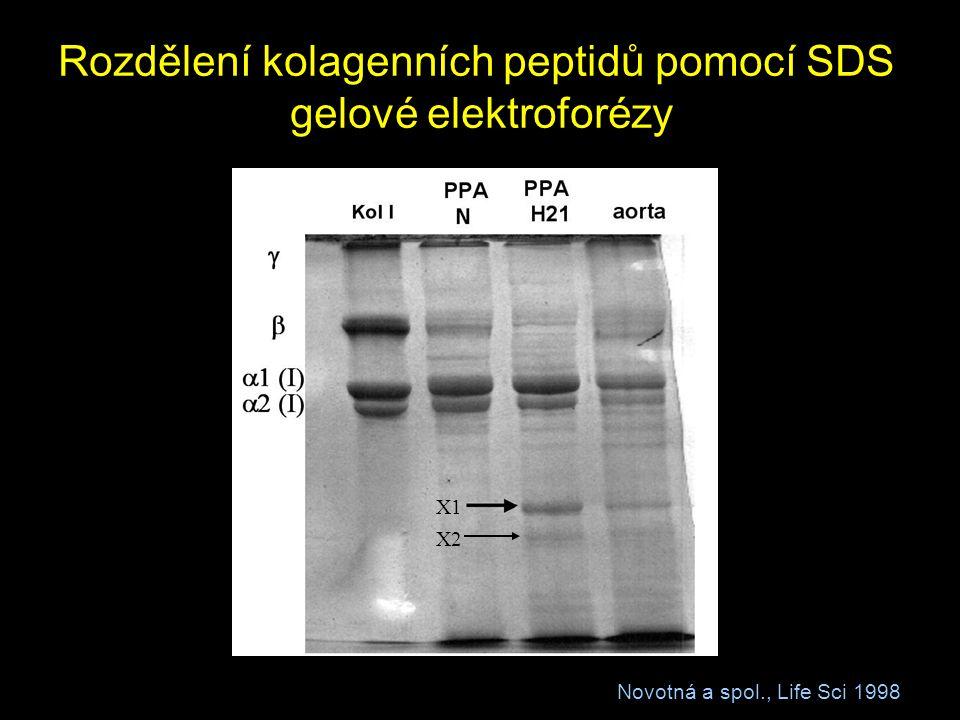 Rozdělení kolagenních peptidů pomocí SDS gelové elektroforézy Novotná a spol., Life Sci 1998 X1 X2