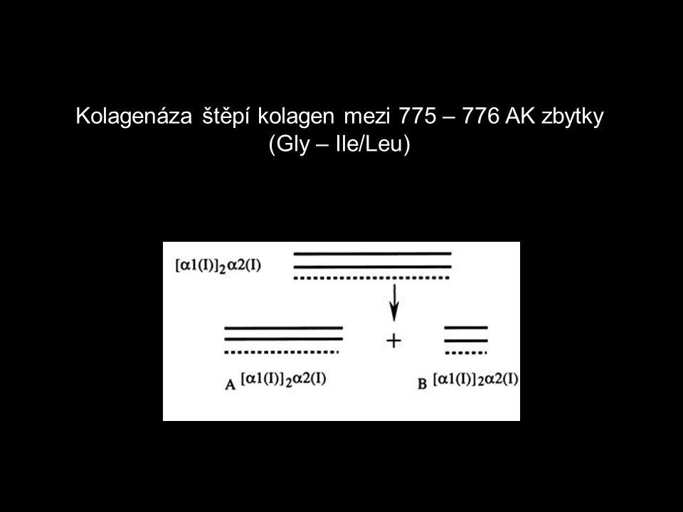 Kolagenáza štěpí kolagen mezi 775 – 776 AK zbytky (Gly – Ile/Leu)