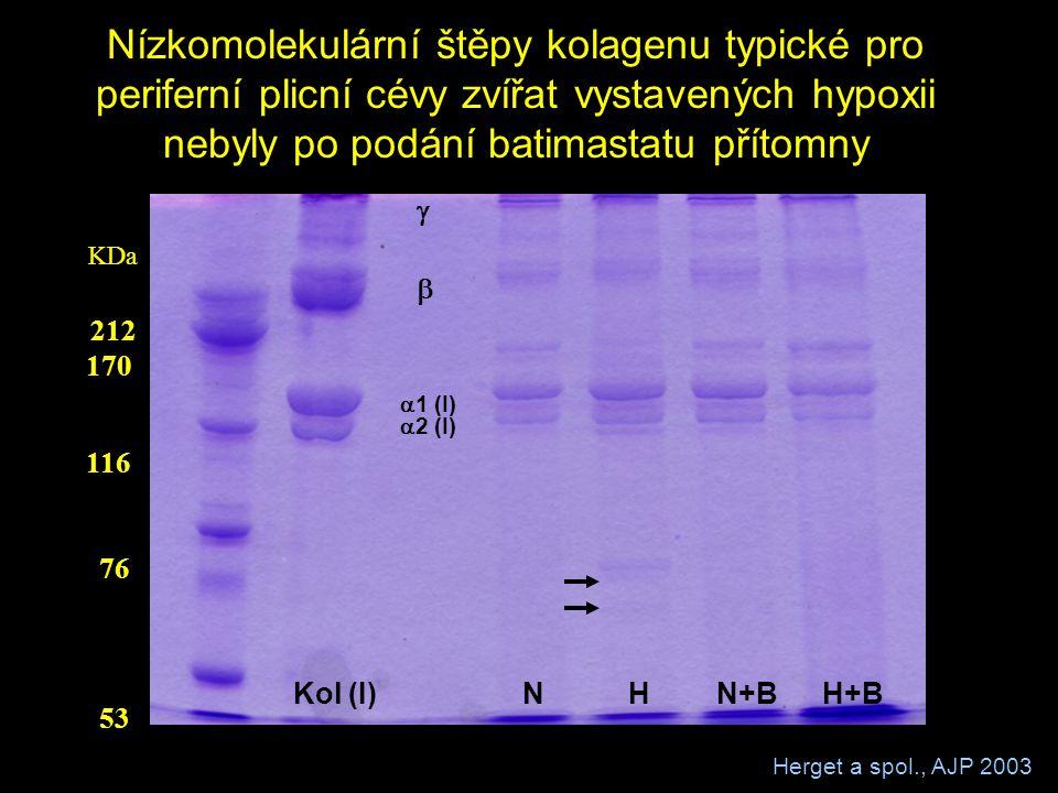 Nízkomolekulární štěpy kolagenu typické pro periferní plicní cévy zvířat vystavených hypoxii nebyly po podání batimastatu přítomny 212 170 116 76 53 