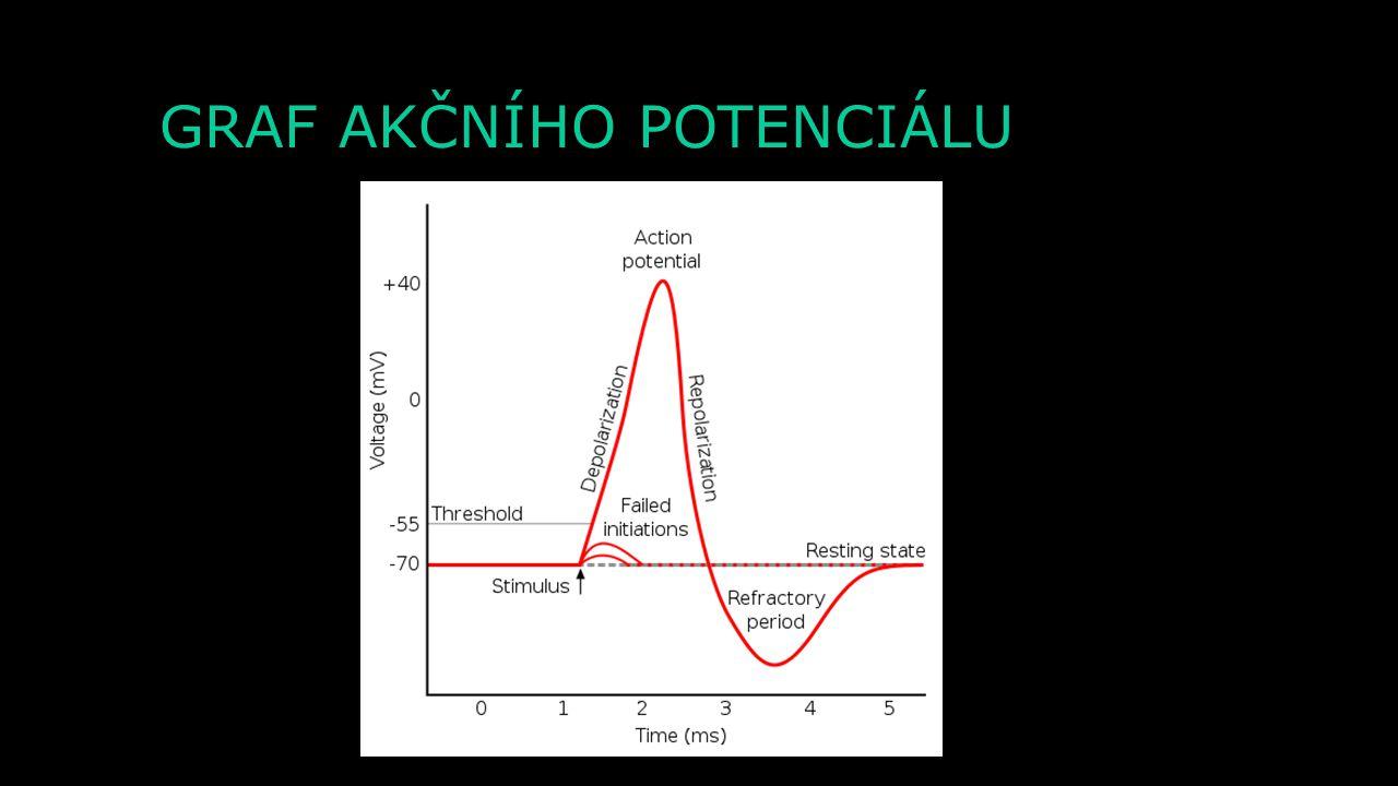 K+K+ - - - - - - - - - + + + + + + + + + + + + + + - + + + + + + + + + + + + + AKČNÍ POTENCIÁL - HYPERPOLARIZACE Extracelulární prostor Intracelulární