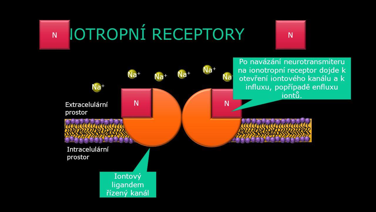 AP N NN N N N N N N N Ca 2+ Na + γ β α GDP GTP ALC cAMP EPSP Ca 2+ N N NN N N N N N N N N N N N GTP γ β Ca 2+ Na + Presynaptická membrána obsahuje v s