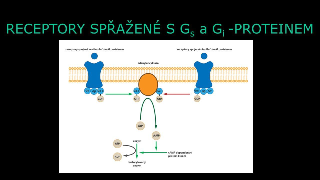 α α GDP RECEPTORY SPŘAŽENÉ S G-PROTEINEM α α β β γ γ GDP GTP N N β β γ γ GDP Extracelulární prostor Intracelulární prostor Po navázání neurotransmiter