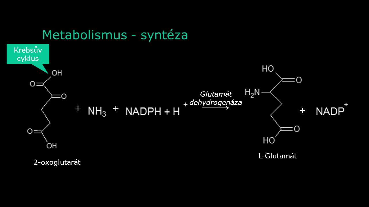 Metabolismus - syntéza 2-oxoglutarát L-AlaninPyruvát L-Glutamát ++ Aminotransferáza Krebsův cyklus