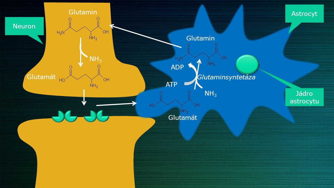 Metabolismus - syntéza + + + Glutamát dehydrogenáza L-Glutamát 2-oxoglutarát Krebsův cyklus
