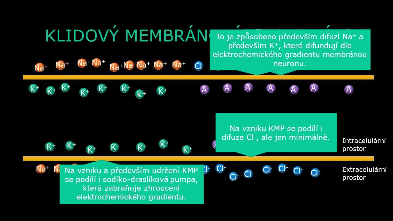 KLIDOVÝ MEMBRÁNOVÝ POTENCIÁL Extracelulární prostor Intracelulární prostor K+K+ K+K+ K+K+ K+K+ K+K+ K+K+ K+K+ K+K+ K+K+ K+K+ K+K+ K+K+ K+K+ K+K+ K+K+ Na + A-A- A-A- A-A- A-A- A-A- A-A- A-A- A-A- A-A- A-A- A-A- A-A- A-A- Cl - V okolí membrány neuronu se nachází nabité ionty – vně Cl - a Na + a uvnitř K + a A -.