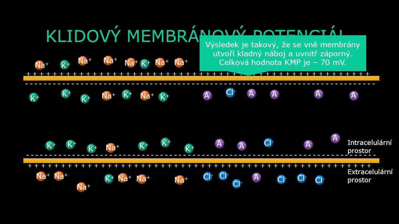 KLIDOVÝ MEMBRÁNOVÝ POTENCIÁL Extracelulární prostor Intracelulární prostor K+K+ K+K+ K+K+ K+K+ K+K+ K+K+ K+K+ K+K+ K+K+ K+K+ K+K+ K+K+ K+K+ K+K+ Na + A-A- A-A- A-A- A-A- A-A- A-A- A-A- A-A- A-A- A-A- A-A- Cl - - - - - - - - - - - - - - - - - - - - - - - - - - - - - - - - - - - - - - - + + + + + + + + + + + + + + + + + + + + + + + + + + Výsledek je takový, že se vně membrány utvoří kladný náboj a uvnitř záporný.