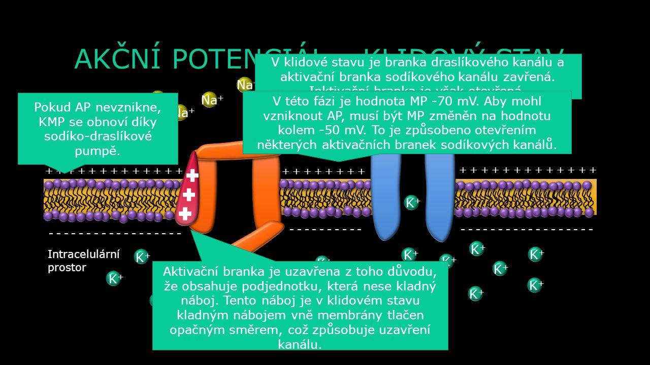 ŘEZ MEMBRÁNOU NEURONU Membrána neuronu Extracelulární prostor Intracelulární prostor Napěťově řízený draslíkový kanál Napěťově řízený sodíkový kanál A