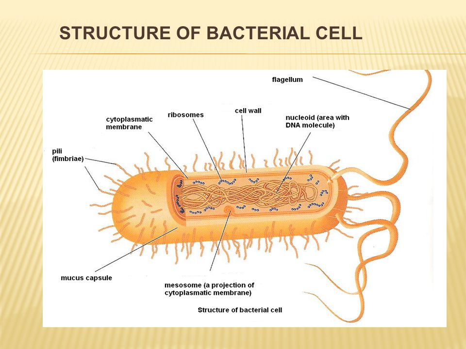  spherical shape = cocci  diplococci  chains – streptococci  grape-like formations (clusters) – staphylococci  stick-shaped form– sticks  bacilli:  stick-shaped bacteria  the have got spores inside  resistant against adverse influences SHAPES OF BACTERIA