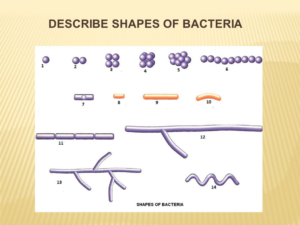  loosely placed only one DNA  circular  DNA = one chromosome = nucleoid  it carries about 3.500 genes  nucleoid attached to the cytoplasmic membrane in 2 places STRUCTURE OF BACTERIA - DNA