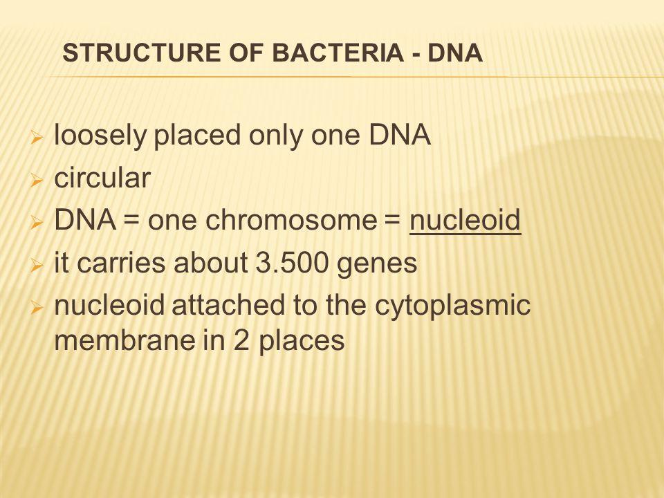  asexually > transversal binary division 1.one circular DNA duplicates 2.