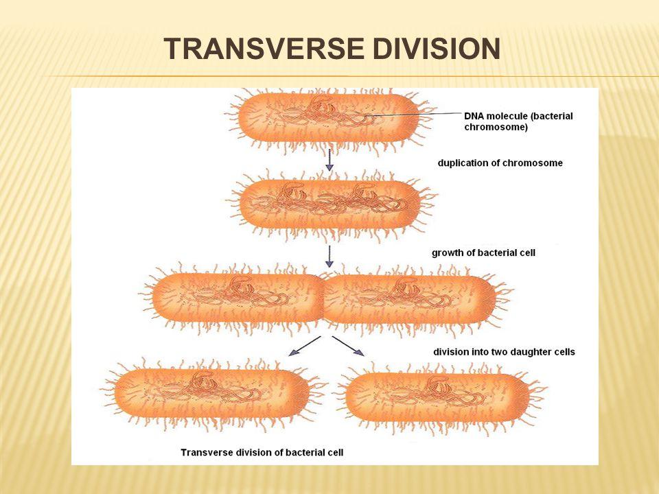 TRANSVERSE DIVISION