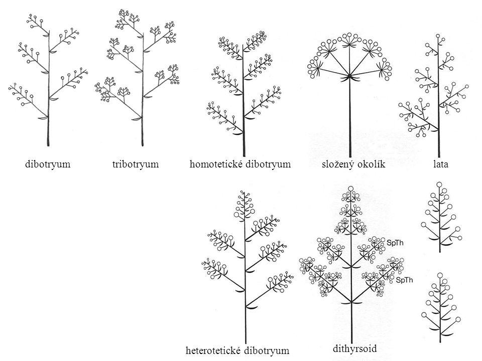 tribotryum dibotryum složený okolíklata heterotetické dibotryum dithyrsoid homotetické dibotryum