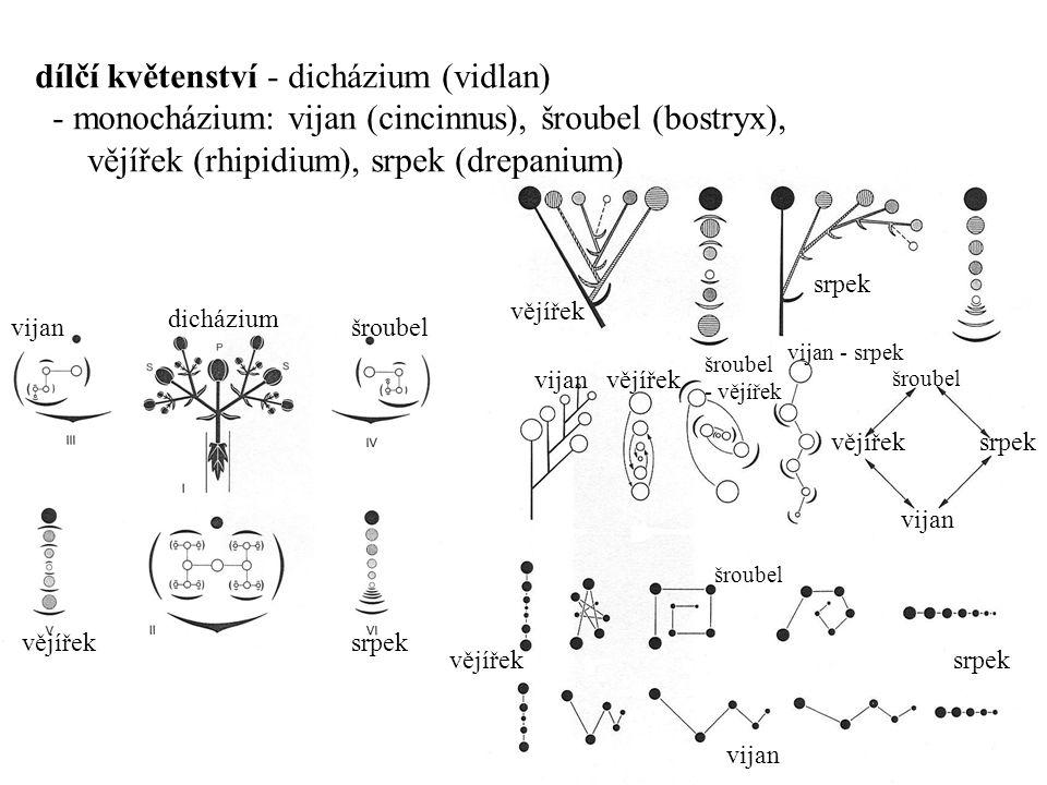 vijanšroubel dicházium vějířeksrpek vějířek srpek vijanvějířek šroubel - vějířek vijan - srpek dílčí květenství - dicházium (vidlan) - monocházium: vi