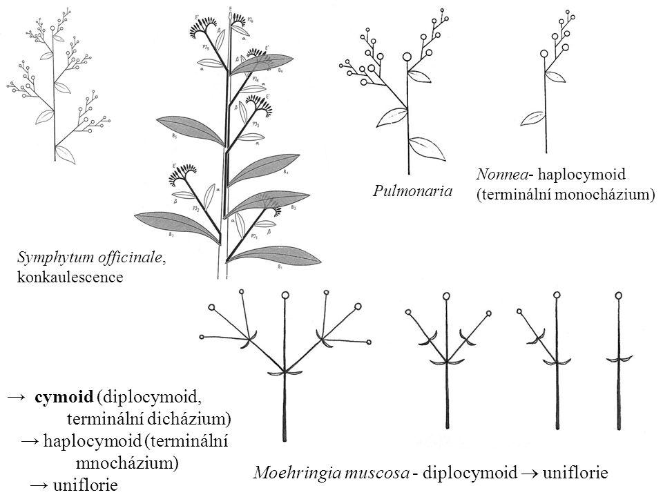Nonnea- haplocymoid (terminální monocházium) Moehringia muscosa - diplocymoid  uniflorie Pulmonaria Symphytum officinale, konkaulescence → cymoid (di