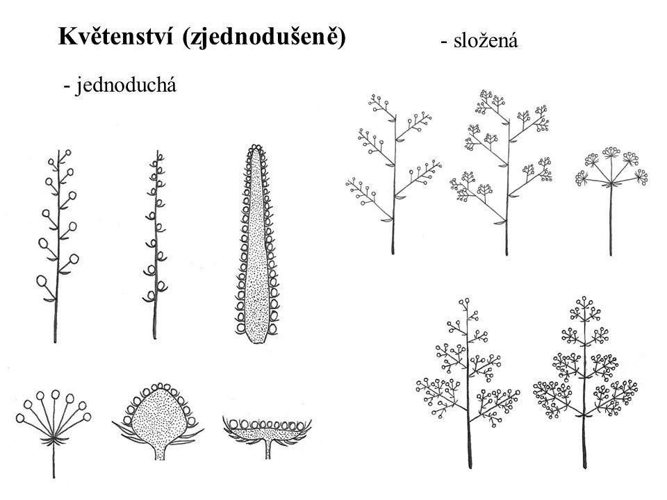- jednoduchá - složená Květenství (zjednodušeně)