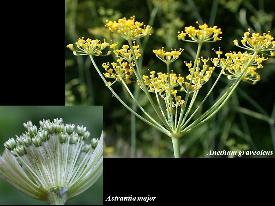 Anethum graveolens Astrantia major