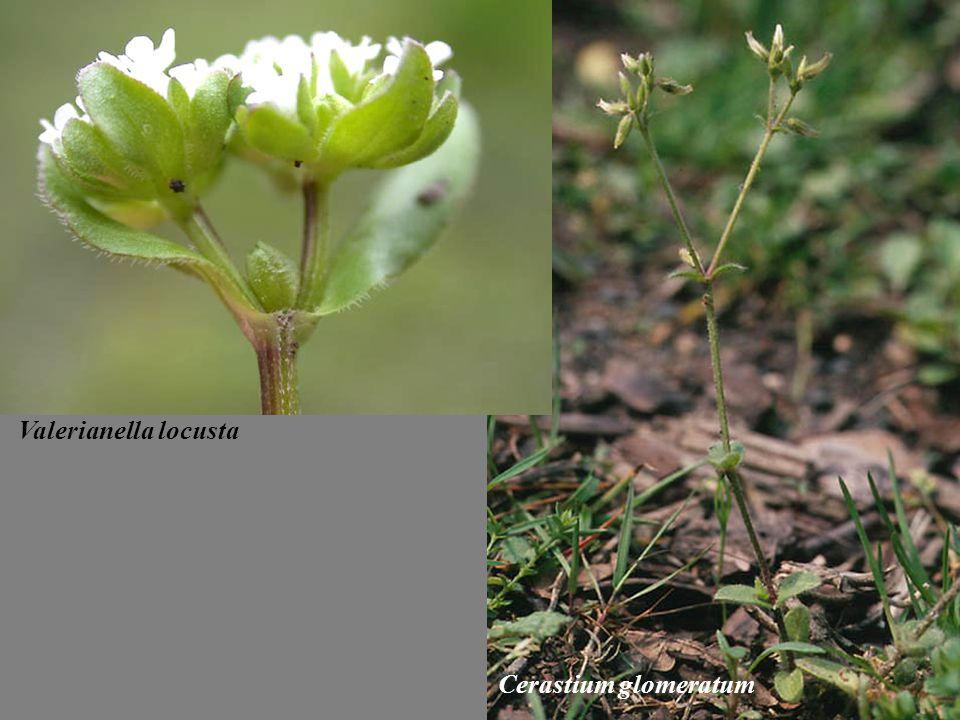 Valerianella locusta Cerastium glomeratum