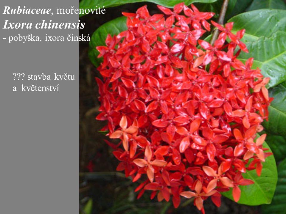 Rubiaceae, mořenovité Ixora chinensis - pobyška, ixora čínská ??? stavba květu a květenství