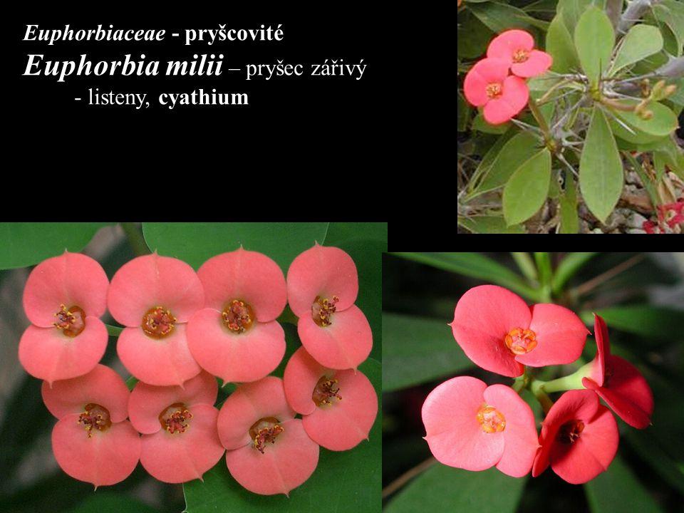 Euphorbia sp. diagram složeného dicházia cyathii cyathium
