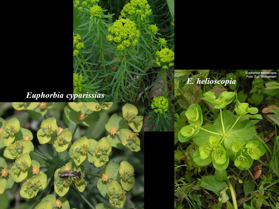 Euphorbia cyparissias E. helioscopia