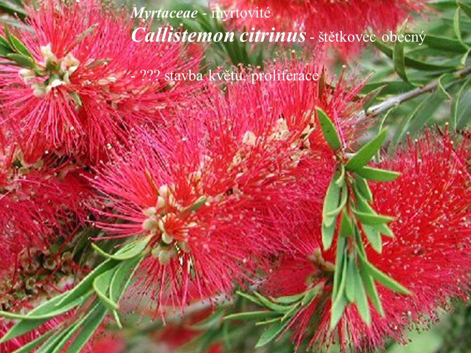 Myrtaceae - myrtovité Callistemon citrinus - štětkovec obecný - ??? stavba květu, proliferace