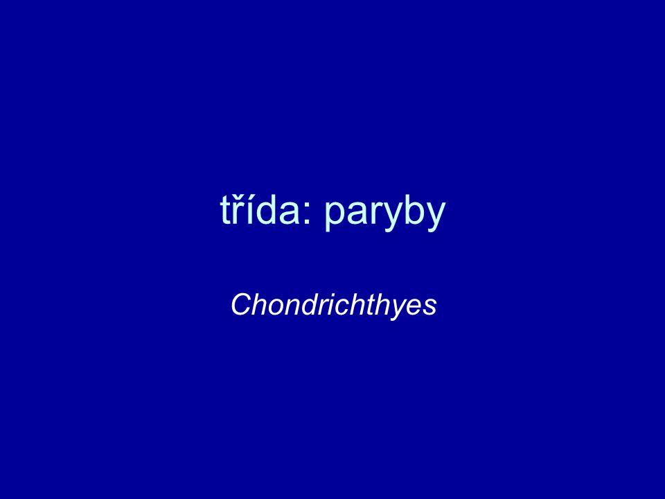 třída: paryby (Chondrichthyes) chrupavčitá kostra vřetenovité tělo (torpéda) heterocerkní o.
