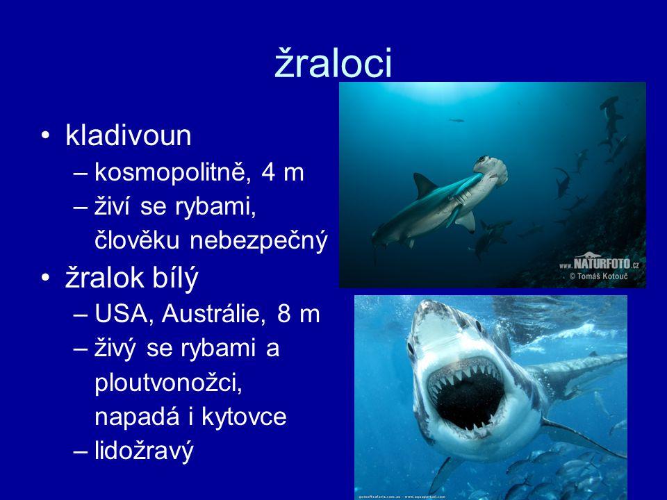 žraloci kladivoun –kosmopolitně, 4 m –živí se rybami, člověku nebezpečný žralok bílý –USA, Austrálie, 8 m –živý se rybami a ploutvonožci, napadá i kyt
