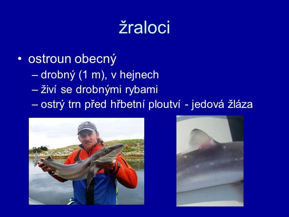 žraloci ostroun obecný –drobný (1 m), v hejnech –živí se drobnými rybami –ostrý trn před hřbetní ploutví - jedová žláza