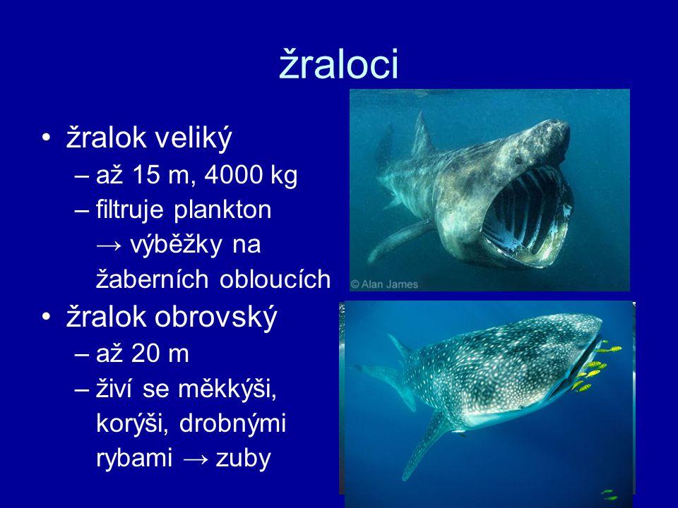 žraloci žralok veliký –až 15 m, 4000 kg –filtruje plankton → výběžky na žaberních obloucích žralok obrovský –až 20 m –živí se měkkýši, korýši, drobnými rybami → zuby