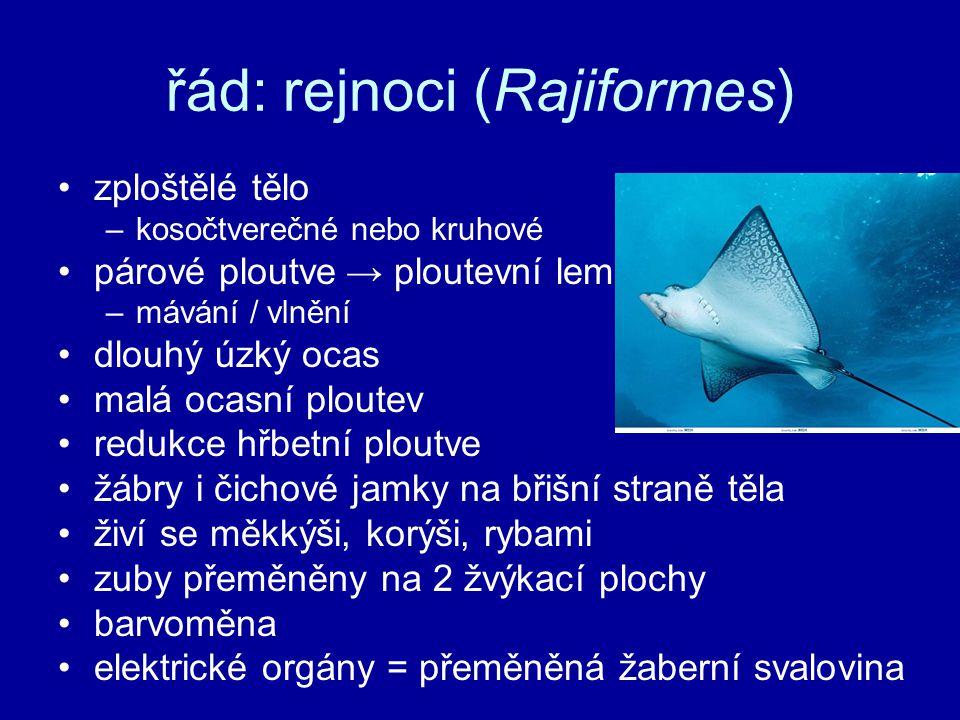 řád: rejnoci (Rajiformes) zploštělé tělo –kosočtverečné nebo kruhové párové ploutve→ ploutevní lem –mávání / vlnění dlouhý úzký ocas malá ocasní plout