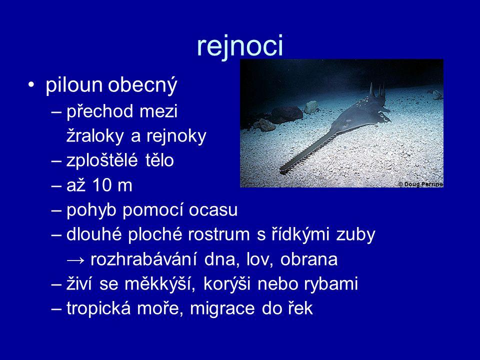 rejnoci piloun obecný –přechod mezi žraloky a rejnoky –zploštělé tělo –až 10 m –pohyb pomocí ocasu –dlouhé ploché rostrum s řídkými zuby → rozhrabávání dna, lov, obrana –živí se měkkýší, korýši nebo rybami –tropická moře, migrace do řek