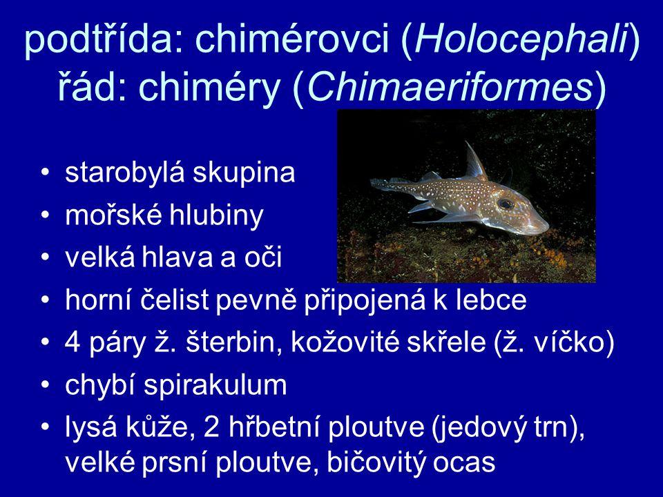 podtřída: chimérovci (Holocephali) řád: chiméry (Chimaeriformes) starobylá skupina mořské hlubiny velká hlava a oči horní čelist pevně připojená k leb