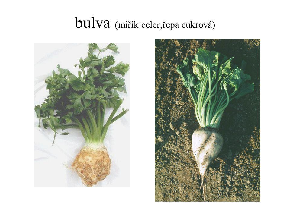 bulva (miřík celer,řepa cukrová)