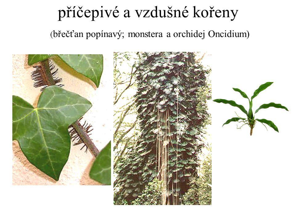 příčepivé a vzdušné kořeny ( břečťan popínavý; monstera a orchidej Oncidium)