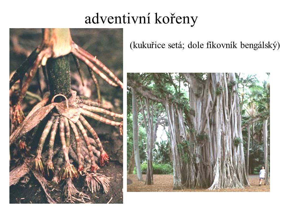 adventivní kořeny (kukuřice setá; dole fíkovník bengálský)