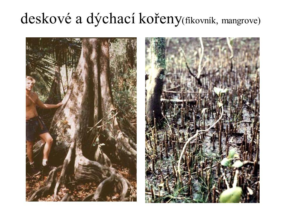 deskové a dýchací kořeny (fíkovník, mangrove)