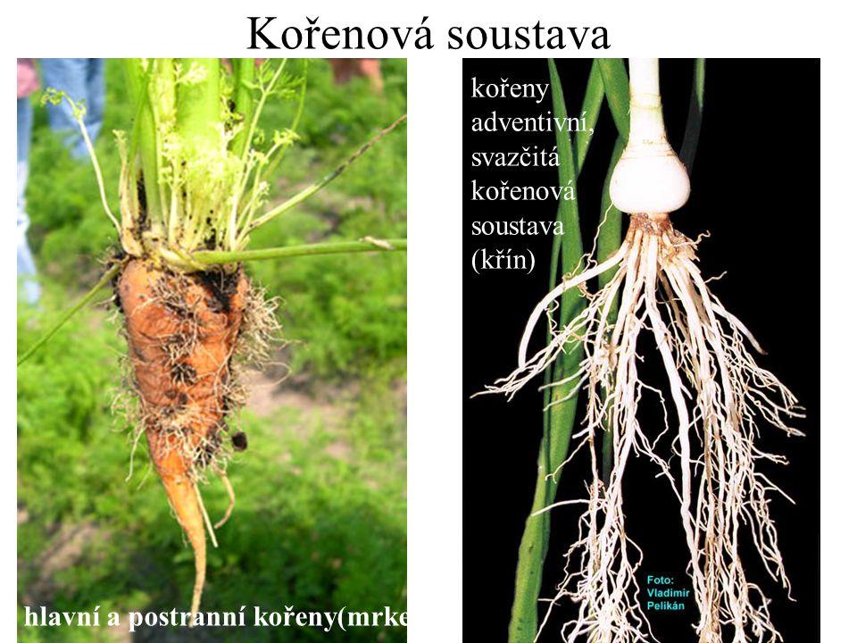 Kořenová soustava hlavní a postranní kořeny(mrkev) kořeny adventivní, svazčitá kořenová soustava (křín)