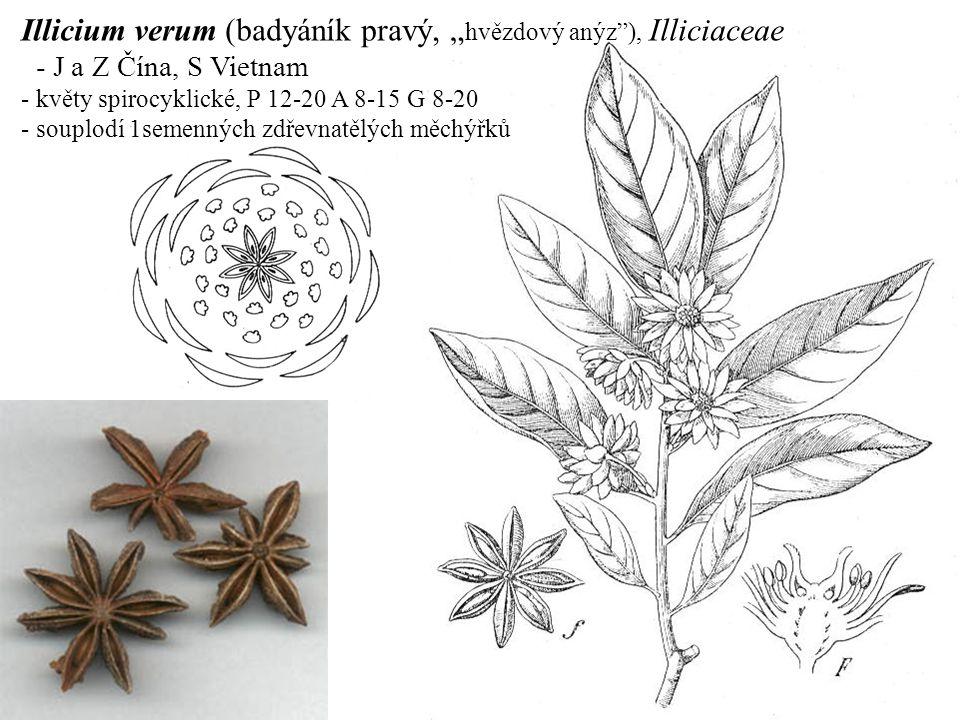 """Illicium verum (badyáník pravý, """" hvězdový anýz""""), Illiciaceae - J a Z Čína, S Vietnam - květy spirocyklické, P 12-20 A 8-15 G 8-20 - souplodí 1semenn"""