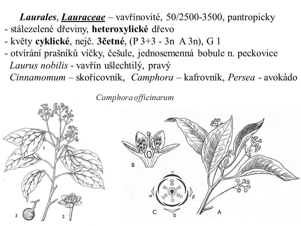 Laurales, Lauraceae – vavřínovité, 50/2500-3500, pantropicky - stálezelené dřeviny, heteroxylické dřevo - květy cyklické, nejč. 3četné, (P 3+3 - 3n A