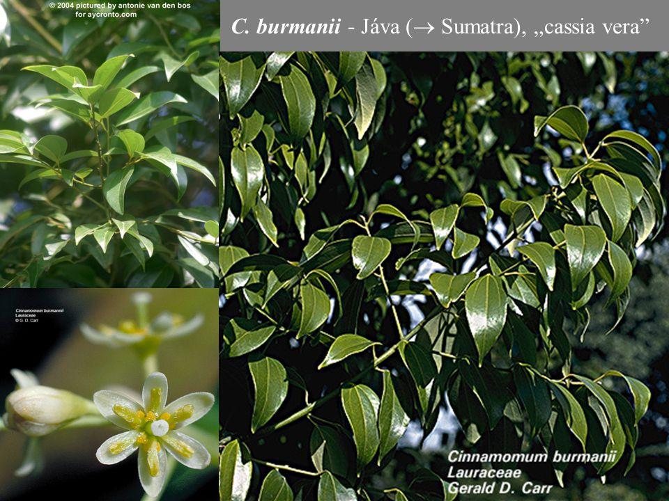 """C. burmanii - Jáva (  Sumatra), """"cassia vera"""""""