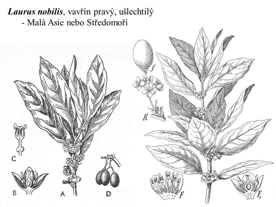 Laurus nobilis, vavřín pravý, ušlechtilý - Malá Asie nebo Středomoří
