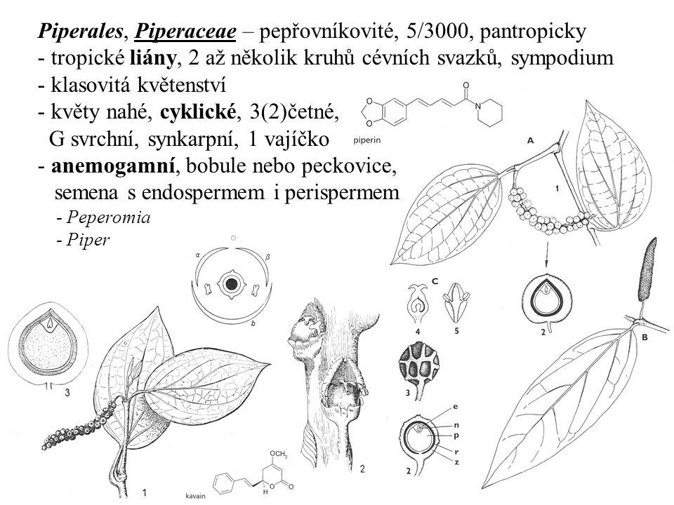 Piperales, Piperaceae – pepřovníkovité, 5/3000, pantropicky - tropické liány, 2 až několik kruhů cévních svazků, sympodium - klasovitá květenství - kv