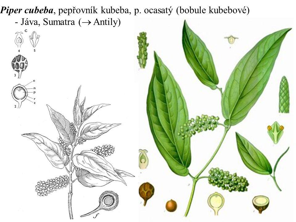 Piper cubeba, pepřovník kubeba, p. ocasatý (bobule kubebové) - Jáva, Sumatra (  Antily)