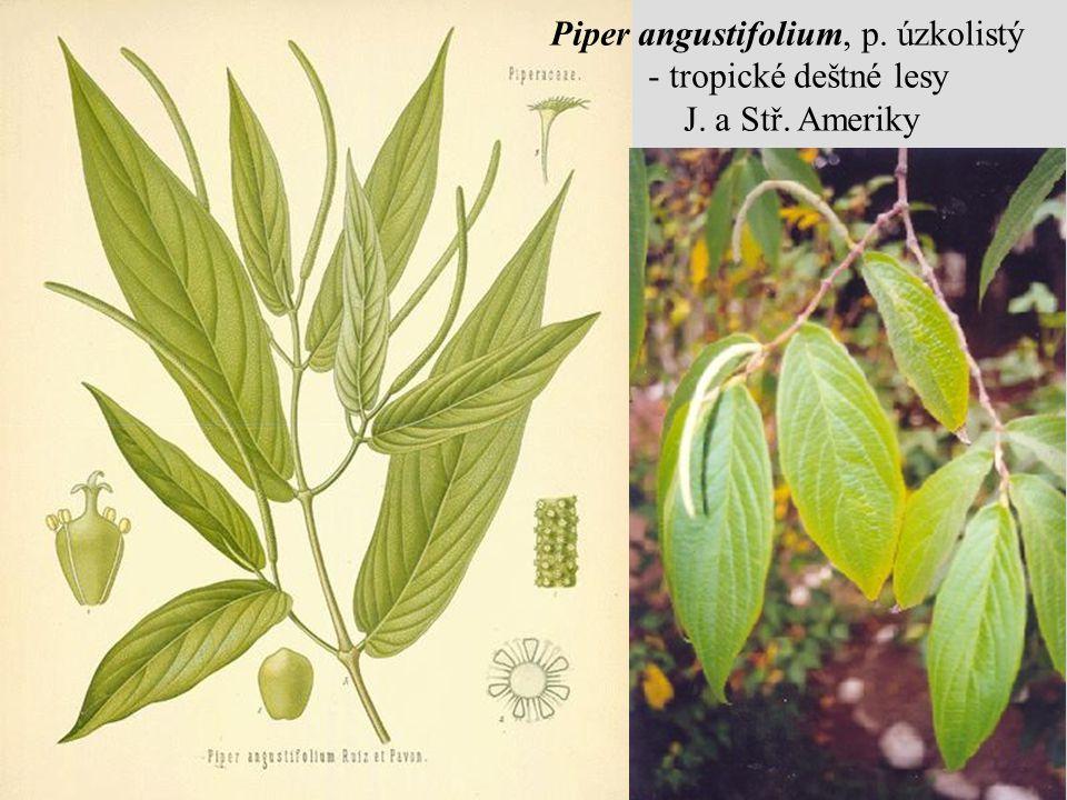 Piper angustifolium, p. úzkolistý - tropické deštné lesy J. a Stř. Ameriky
