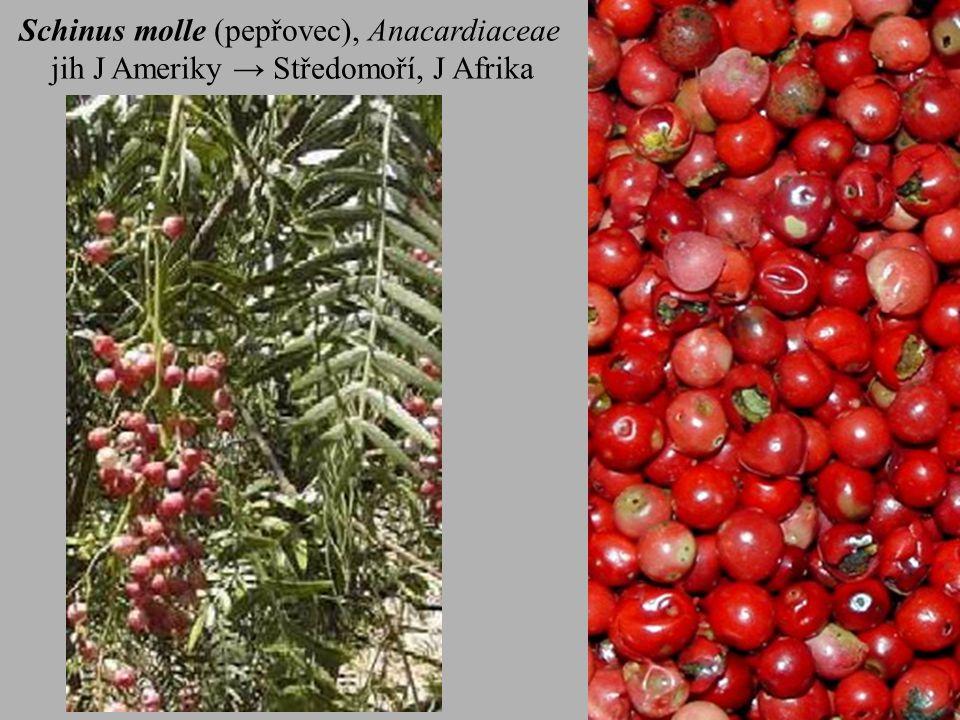 Schinus molle (pepřovec), Anacardiaceae jih J Ameriky → Středomoří, J Afrika