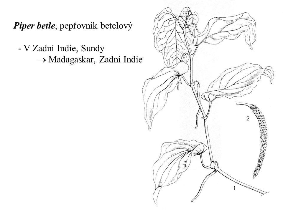 Piper betle, pepřovník betelový - V Zadní Indie, Sundy  Madagaskar, Zadní Indie