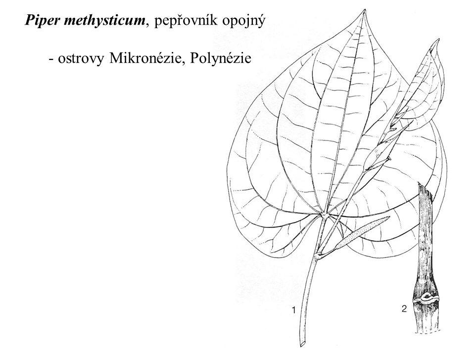Piper methysticum, pepřovník opojný - ostrovy Mikronézie, Polynézie