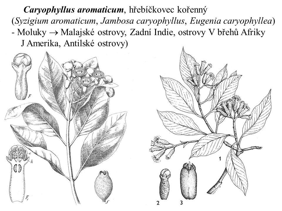 Caryophyllus aromaticum, hřebíčkovec kořenný (Syzigium aromaticum, Jambosa caryophyllus, Eugenia caryophyllea) - Moluky  Malajské ostrovy, Zadní Indi