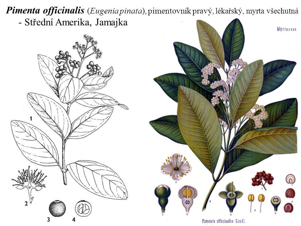Pimenta officinalis (Eugenia pinata), pimentovník pravý, lékařský, myrta všechutná - Střední Amerika, Jamajka