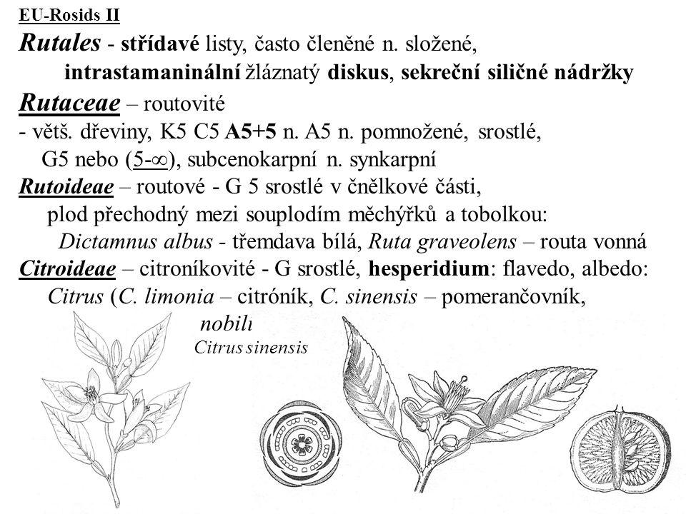 EU-Rosids II Rutales - střídavé listy, často členěné n. složené, intrastamaninální žláznatý diskus, sekreční siličné nádržky Rutaceae – routovité - vě